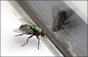 Fly at Window