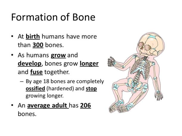 Formation+of+Bone+At+birth+humans+have+more+than+300+bones.